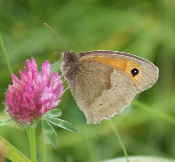 Meadow Brown (male underside) Copyright: Robert Smith