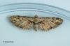 Eupithecia exiguata Mottled Pug 2 Copyright: Graham Ekins