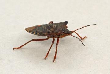 Pentatoma rufipes (Forest Bug) 3 Copyright: Graham Ekins