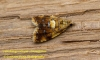 Pseudargyrotoza conwagana 3 Copyright: Graham Ekins