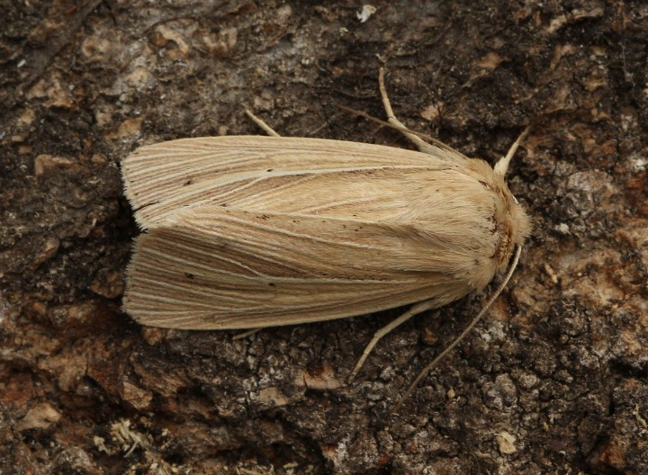 Smoky Wainscot  Mythimna impura  2 Copyright: Graham Ekins