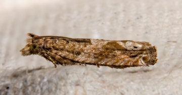 Nut Bud Moth 03-09-2020 Copyright: Bill Crooks