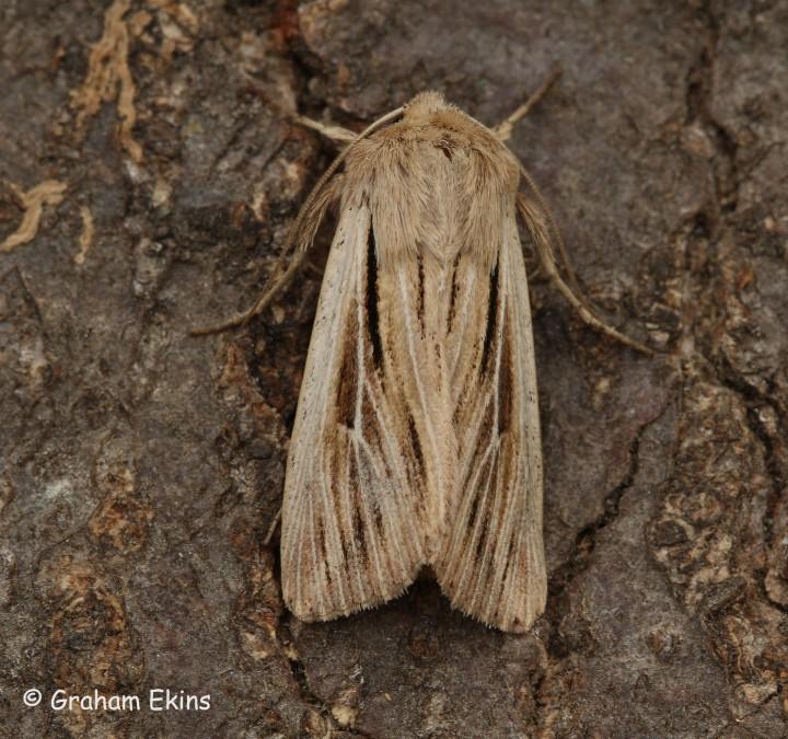 Leucania comma  Shoulder-striped Wainscot Copyright: Graham Ekins