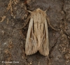 Leucania comma  Shoulder-striped Wainscot Copyright: Graham Ekins