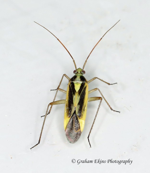 Stenotus binotatus Copyright: Graham Ekins