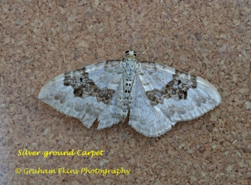 Silver-ground Carpet  Xanthorhoe montanata Copyright: Graham Ekins