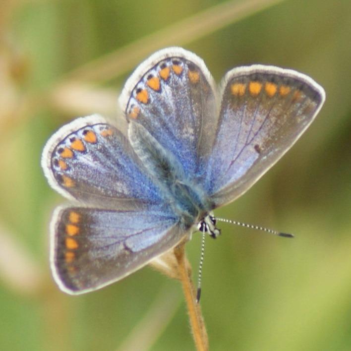 Common Blue (female) Copyright: Robert Smith