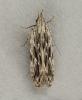 Anarsia innoxiella 2 Copyright: Graham Ekins