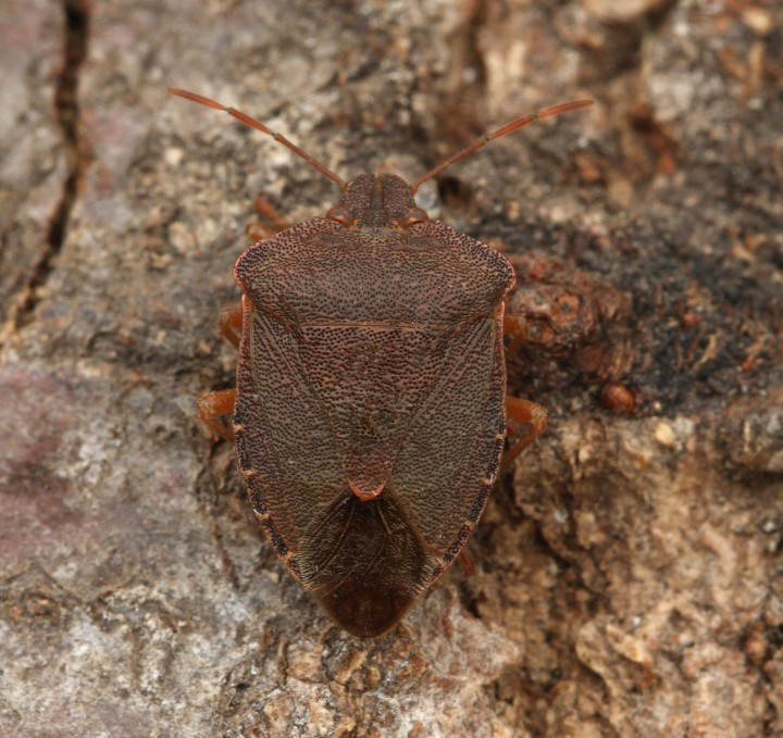 Palomena prasina (Green Shieldbug) (winter colour) Copyright: Graham Ekins
