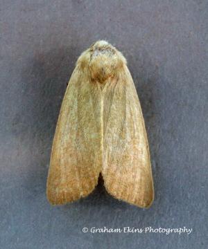 Arenostola phragmitidis  Fen Wainscot Copyright: Graham Ekins