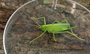 Meconema thalassinum  (Oak Bush Cricket) 2 Copyright: Graham Ekins