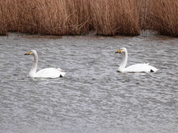 Whooper Swans Copyright: Graham Smith