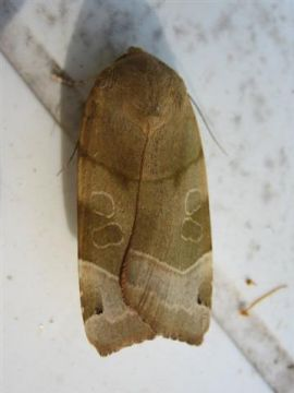 Broad Bordered Yellow Underwing Copyright: Stephen Rolls