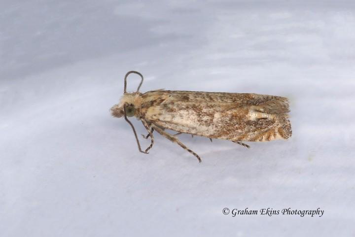 Eucosma tripoliana 2 Copyright: Graham Ekins