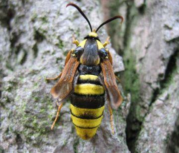 Hornet Moth4 Copyright: Stephen Rolls