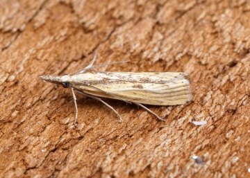 Agriphila inquinatella 2 Copyright: Ben Sale