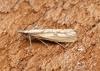 Agriphila inquinatella 2 Copyright: Ben Sale