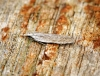 Anarsia spartiella 1 Copyright: Ben Sale