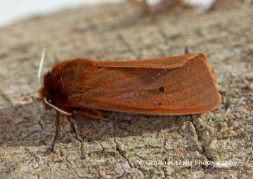 Ruby Tiger  Phragmatobia fuliginosa 1 Copyright: Graham Ekins