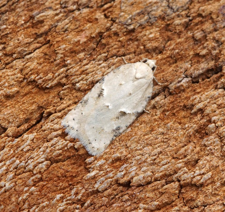 Acleris logiana - Gen Det Copyright: Ben Sale