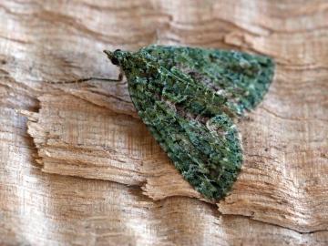 Red-green Carpet  Chloroclysta siterata 2 Copyright: Graham Ekins