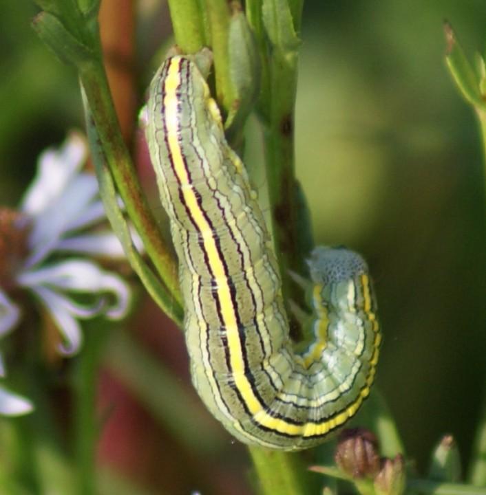 Star-wort larva Copyright: Robert Smith