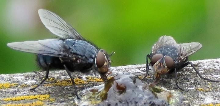 Calliphora vicina Copyright: Phil Mann