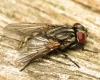 Musca autumnalis female 20160708-6211 Copyright: Phil Collins