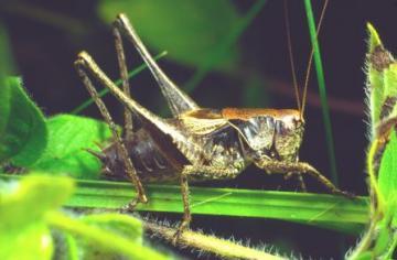 Pholidoptera griseoaptera Copyright: Peter Harvey