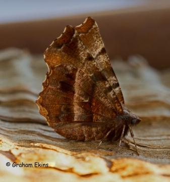 Selenia dentaria  Early Thorn Spring form Copyright: Graham Ekins