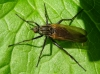 Empis tessellata found in Hainault Forest Copyright: Raymond Small