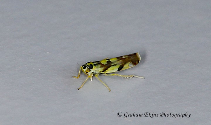Eupteryx aurata  (Potato Leafhopper) Copyright: Graham Ekins