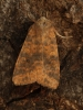Dusky-lemon Sallow   Cirrhia gilvago Copyright: Graham Ekins