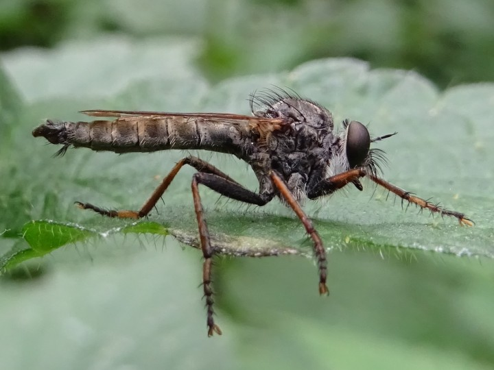 Machimus atricapillus Male Copyright: Raymond Small