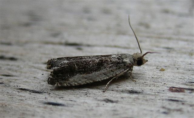 Ancylis laetana. Copyright: Stephen Rolls