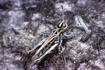 Myrmeleotettix maculatus Copyright: Peter Harvey