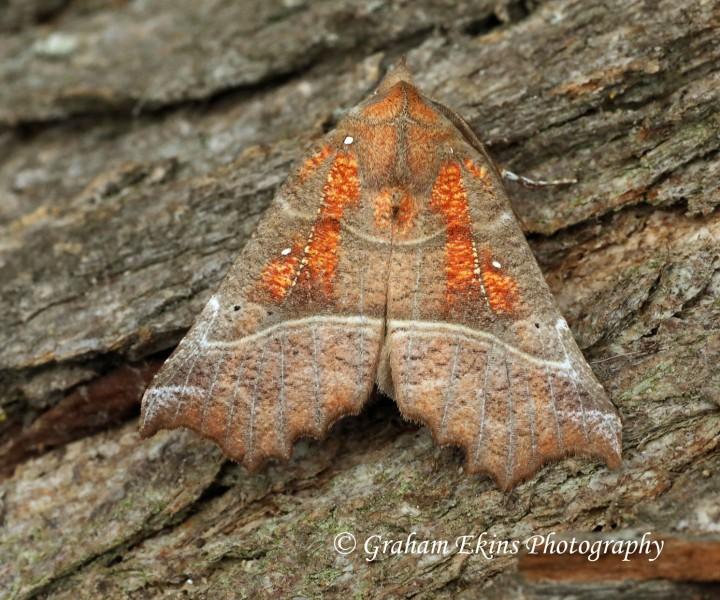 Scoliopteryx libatrix  Herald 4 Copyright: Graham Ekins