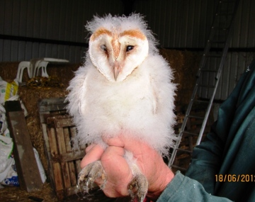 Barn Owl chick Copyright: Graham Smith
