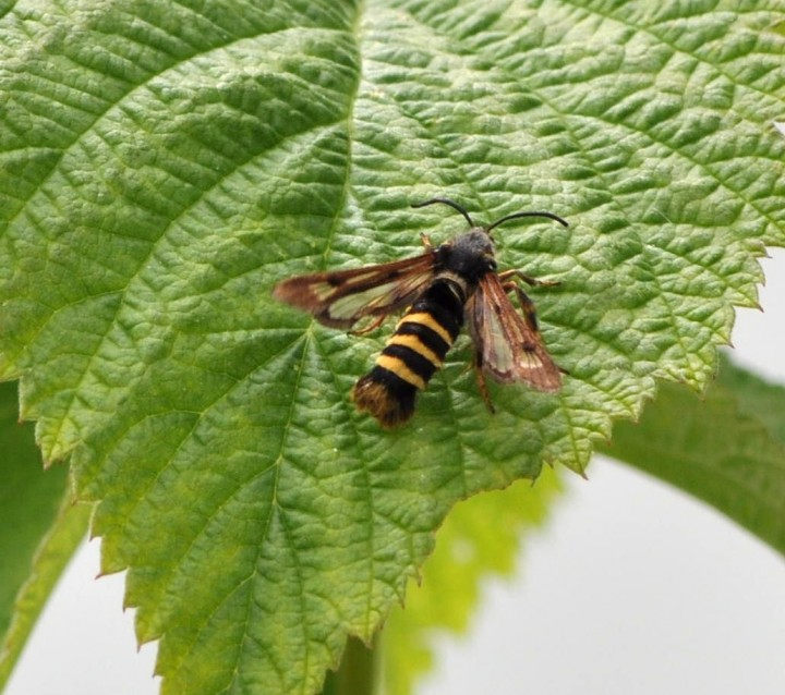 Female Raspberry Clearwing Moth Copyright: Angela Craig