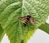 Female Raspberry Clearwing Moth Copyright: Angela Craig