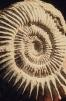 Ammonite Copyright: unknown