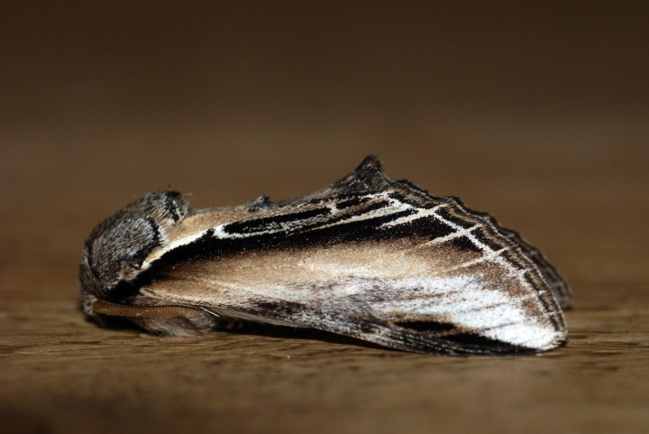 Swallow Prominent Copyright: Ben Sale