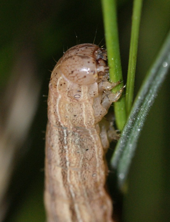 M impura larvae Copyright: Robert Smith