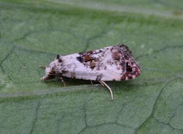 Cochylis hybridella 4 Copyright: Graham Ekins