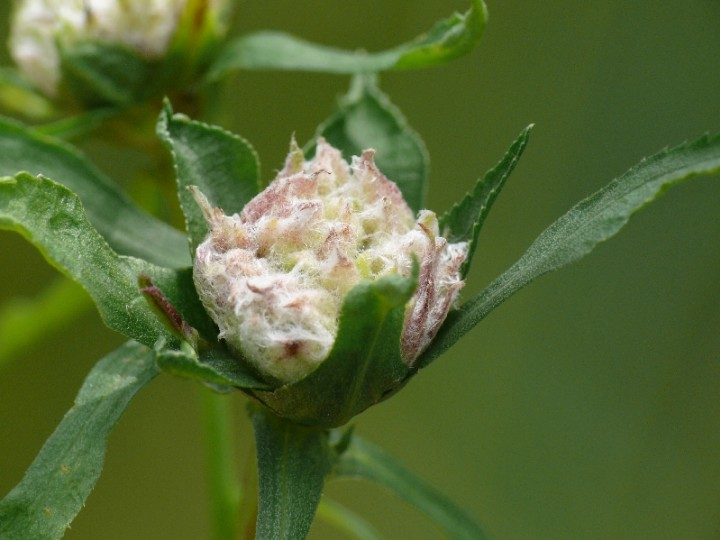 Rhopalomyia ptarmicae gall on Sneezwort Copyright: Peter Furze