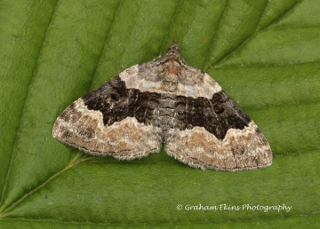 Xanthorhoe quadrifasiata Large Twin-spot Carpet Copyright: Graham Ekins