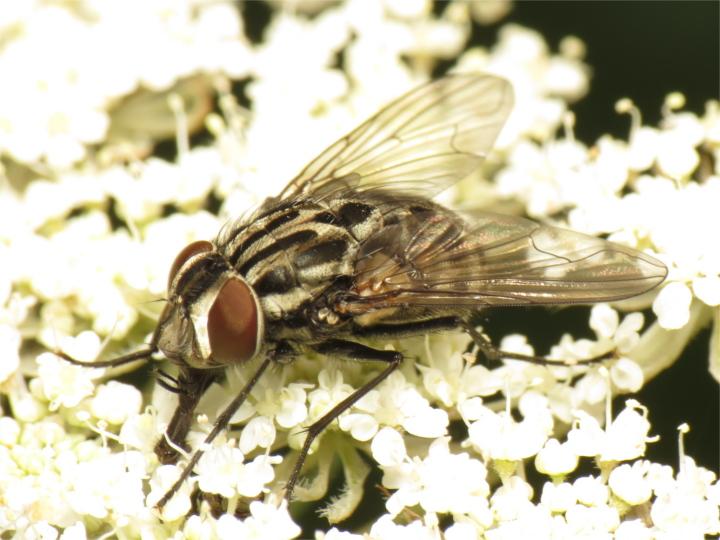 Graphomya maculata female 20150716-2394 Copyright: Phil Collins