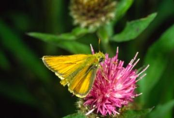 Thymelicus sylvestris