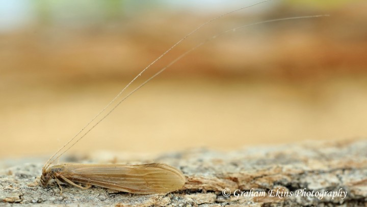 Oecetis ochracea Copyright: Graham Ekins
