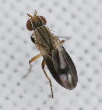 Trixoscelis marginella 2 Copyright: Robert Smith